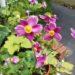 シュウメイギクの育て方【花を咲かせるポイント】