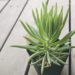 多肉植物セネシオ(セネキオ)【美空鉾】の育て方チェック