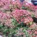 赤い葉を茂らせたい【オタフクナンテン】育て方チェック