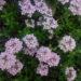 次々と開花するロンギカリウスタイム@5月