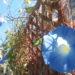 秋も咲き続ける美しいアサガオ!品種は?